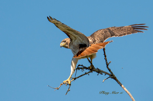 Red-tailed Hawk_DWL8197.jpg