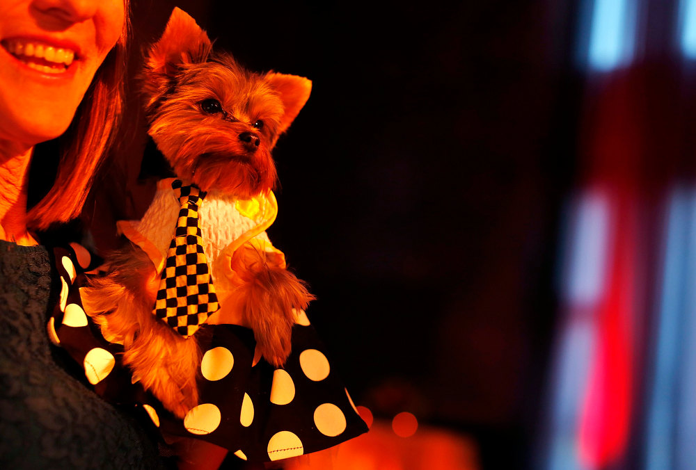 Description of . Schmitty, a Yorkshire terrier breed, is seen during a cocktail hour before the start of the New Yorkie Runway Doggie Fashion Show in New York February 7, 2013. REUTERS/Shannon Stapleton