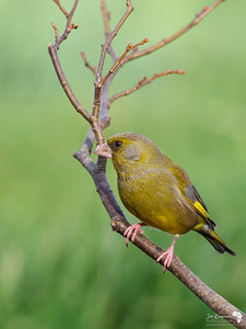 Greenfinch in Green light