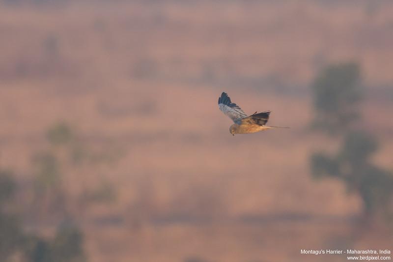Montagu's Harrier - Maharashtra, India