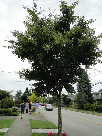 Street Trees of New Westminster - GPP Day 2 - 2012/08/06