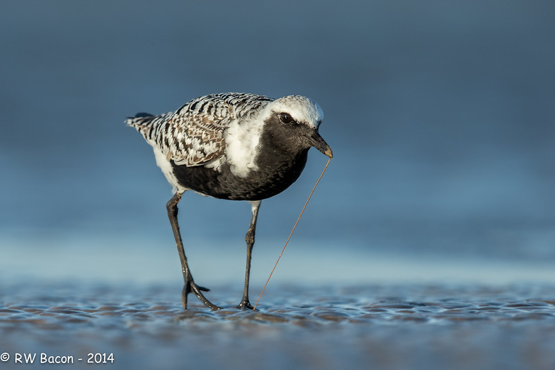 Black-bellied Plover with Worm.jpg