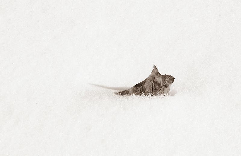 2021-02-16 Snow Leaf_DSF0504.jpg