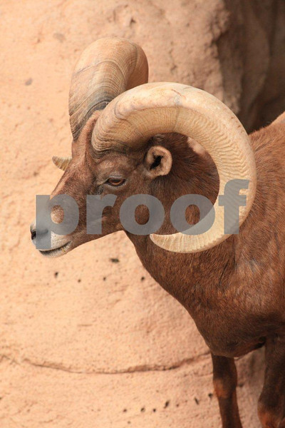 Big horn sheep 7050.jpg