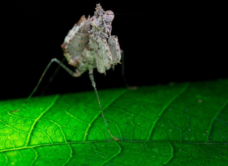 Bird dung mantis (Ceratomantis sp.) on backlit leaf