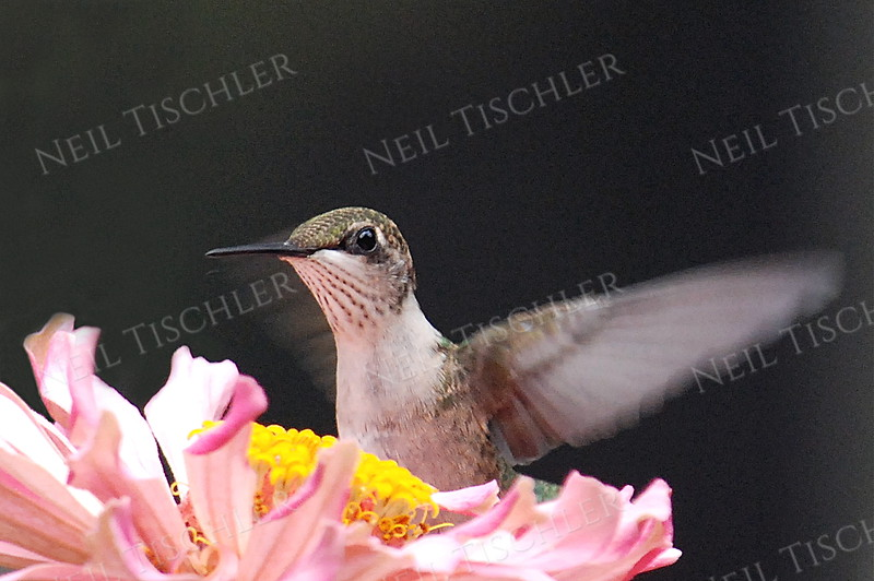 #878  A ruby throated hummingbird drinking from  a pink zinnia