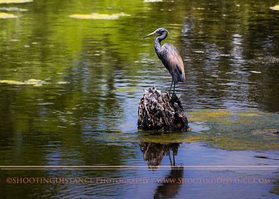 Little Blue Heron rests in a lagoon at Magnolia Cemetery, Charleston, SC