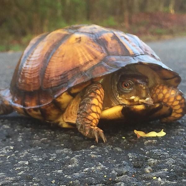 Fear the turtle. #SouthCarolina