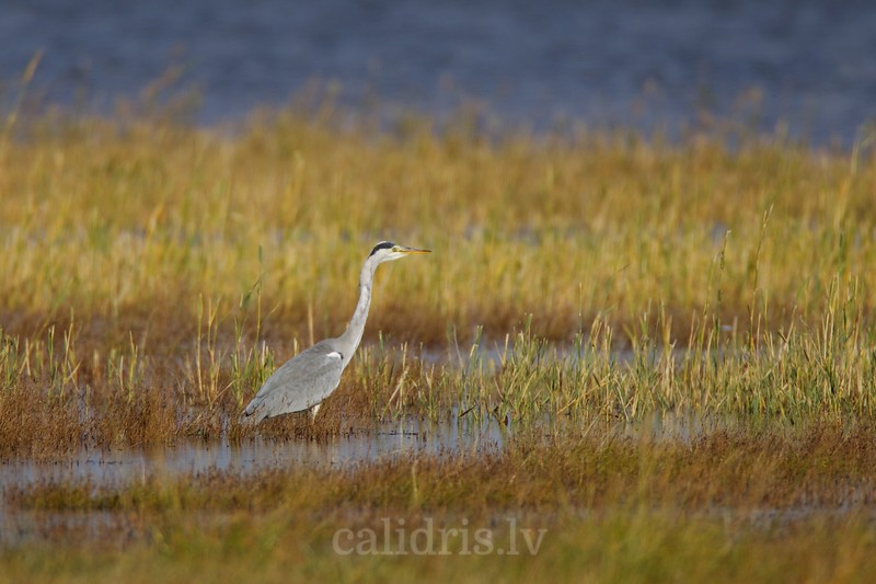 Grey heron on sea shore with reeds