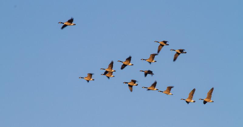 Sandhill Crane flock flying flight Sherburne National Wildlife Refuge Sherburne County MNIMG_1671.jpg