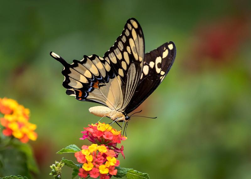 GiantSwallowtail_02.jpg