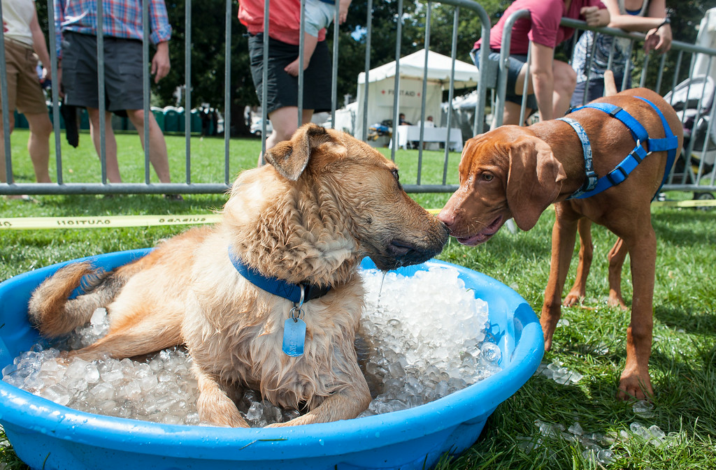 . Dogs play in an ice filled pool while inside a leash-free area at Woof Fest! in downtown Denver, Colorado, Sunday, August 17, 2014. The free festival included two music stages, food trucks, and space for pets and their owners to play. ((Photo By Brenden Neville/Special to The Denver Post))