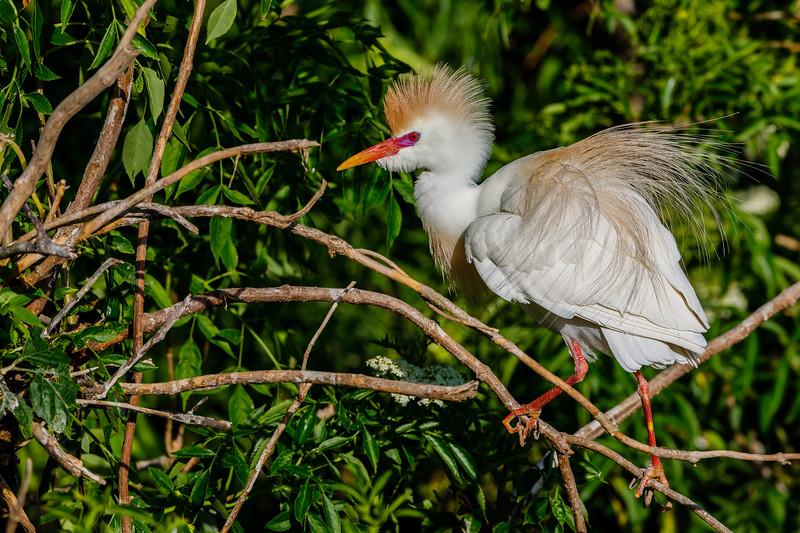 Cattle Egret - Gatorland Rookery