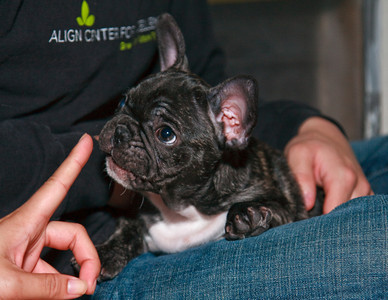Tank the French Bull Dog