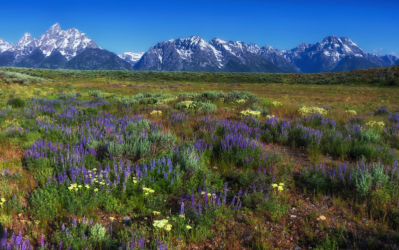 lupine meadow.jpg