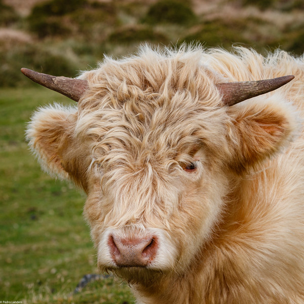 Not Quite a Shaggy Coo