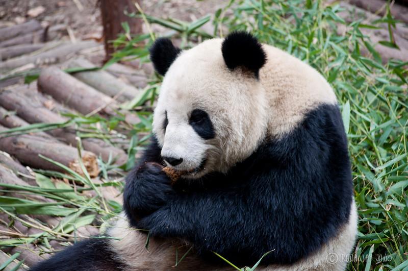 Panda_eating_food_Chengdu_Sichuan_China.jpg
