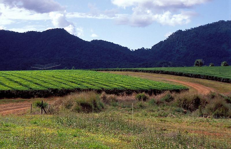 Tea-Plantation on Atherton Talblelands, Queensland, Australia