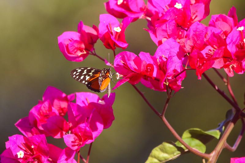 Monarch butterfly in pink flowers