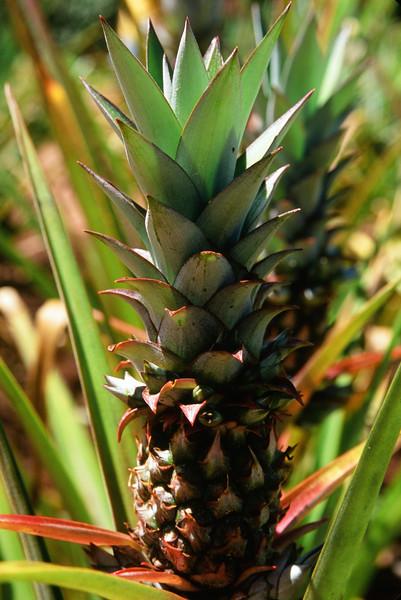 Pineapple on the Vine