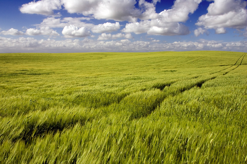 Wheat field in Andalusia