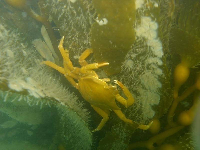 A Northern Kelp crab on Giant Kelp, offshore Tajiguas CA
