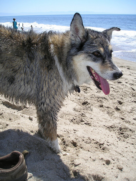 Tika's dense, dense fur sucked in sand and saltwater and she was a mess. Got a thorough hosing down at Sharon's house and again when we got home hours later. I think she's STILL sandy.