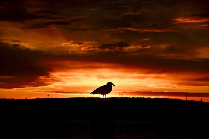 Seagull Sunrise 12:15:19-2.jpg