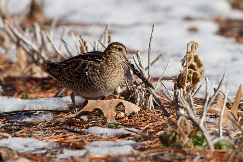 Common snipe foraging in snow.