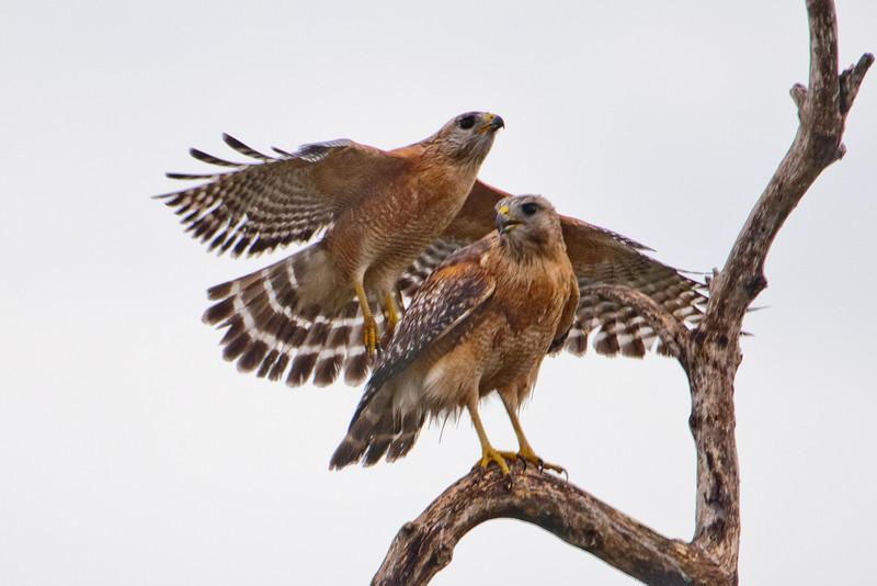 Hawk - Red-shouldered - Three Lakes WMA - Kissimmee, FL - 02