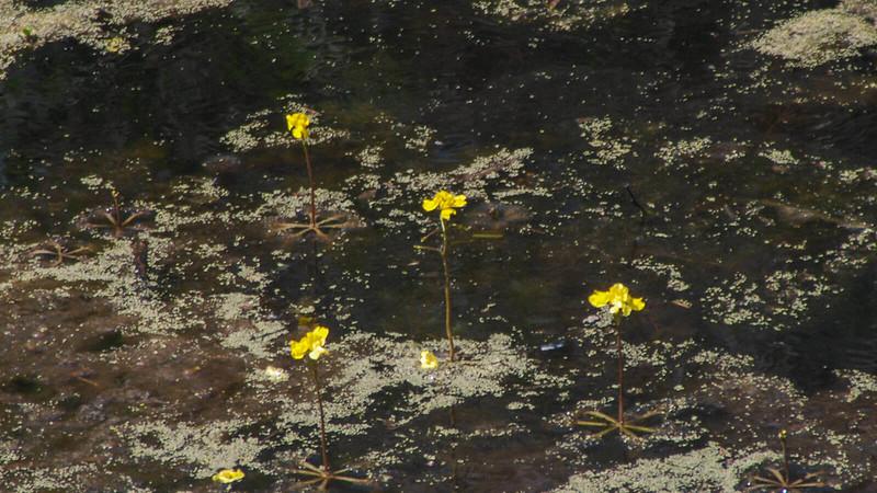 Yellow bladderwort blooms in swamp