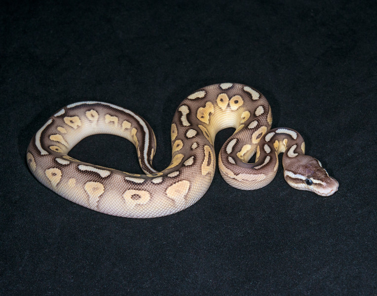 012MPCL16, male Pastel Cinnamon Lesser, sold HERPS OKC