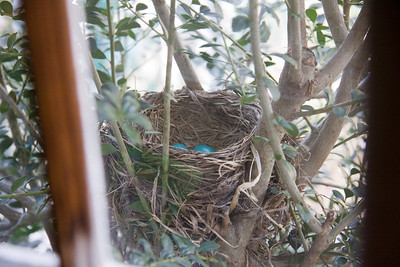Baby Robins 2009