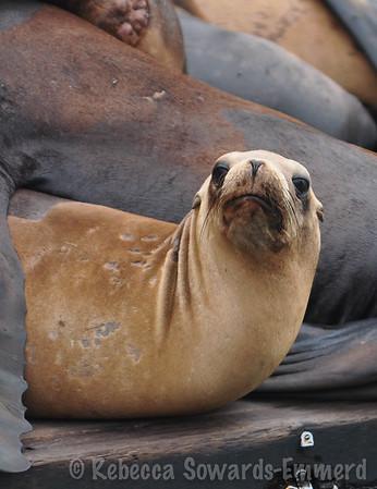 Moss Landing Sea Lions (09.07.2014)