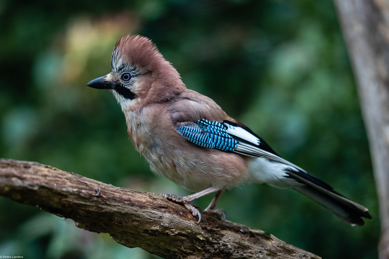 Crested Jay?