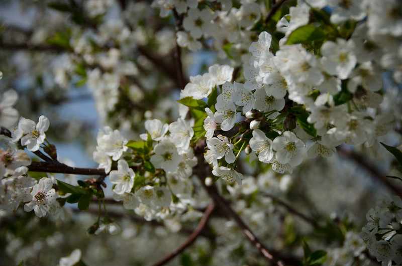 It's all about cherry trees right now...