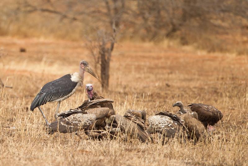 White-backed Vulture, Lappet-faced Vulture and Marabou Stork atr a kill - Tarangire National Park, Tanzania