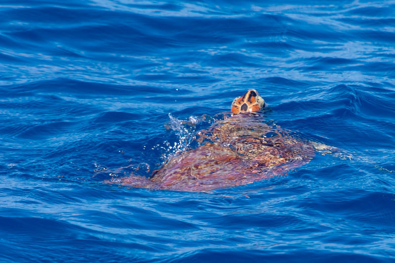 The sea turtle are amazing and so fast.  They can disappear in a blink of an eye.