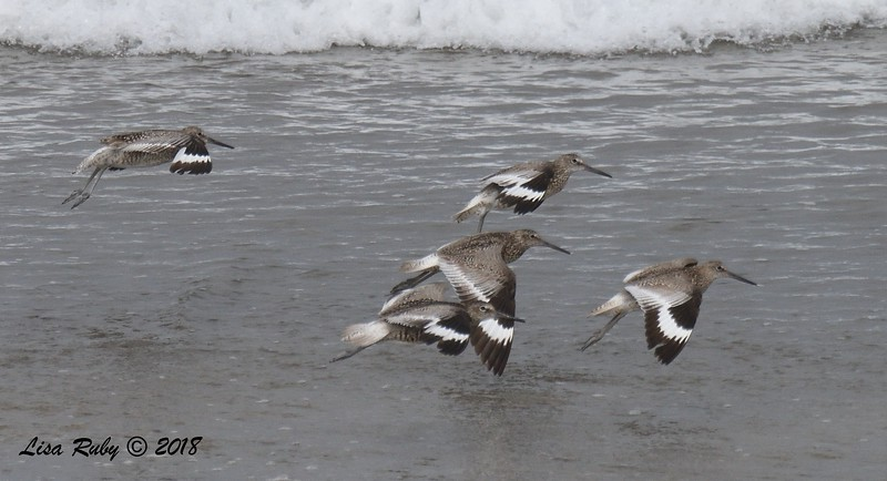 Willets - 7/1/2018 - Imperial Beach, walking to Tijuana River Mouth