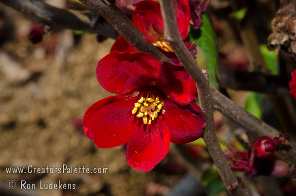 Blood Red Flowering Quince (Chaenomeles speciosa 'Blood Red')