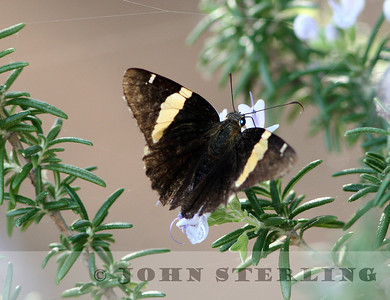 Sterling's Arizona Butterflies