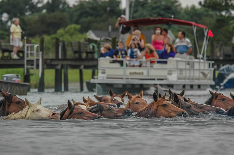 Chincoteague Island Pony Swim Return Swim #2