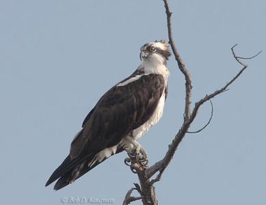 Pandionidae - Ospreys