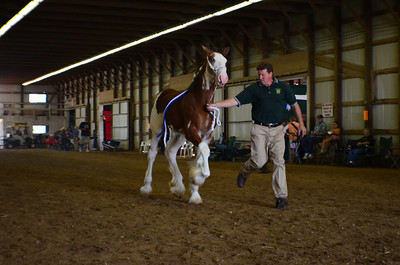 571 Stud Foal Clydesdales