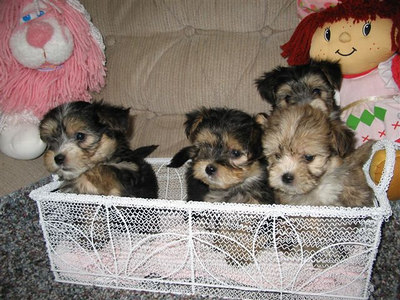 Puppies that we have donated to Make A Wish Foundation & KLTY's Christmas Tree
