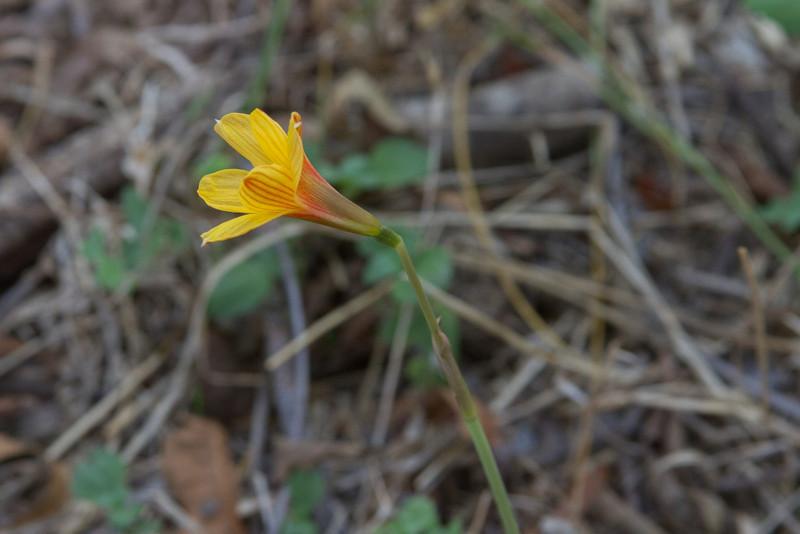 Habranthus tubispathus (texanus) - Copper Lily