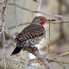Northern Flicker - Wheatland County, Alberta