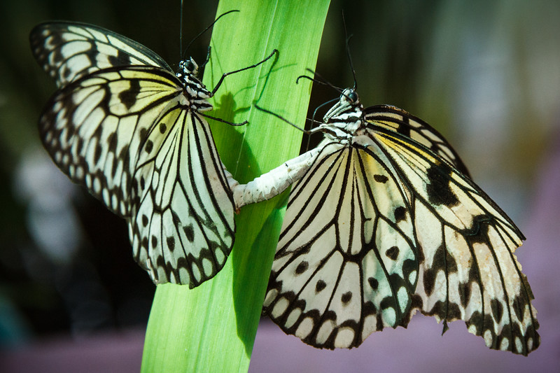 Amazing butterfly life scene captured at the Butterfly Garden of Phuket.