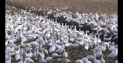 Pungo Lake Snow Geese 1-19-19