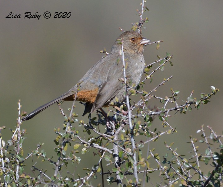 California Towhee  - 1/4/2020 - Lake Hodges Bernardo Bay Trail, CBC